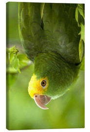 Canvas print  Yellow-headed Amazon - Pete Oxford