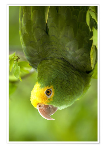 Premium poster Yellow-headed Amazon