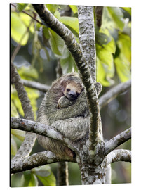 Aluminium print  Three-toed sloth rests in a tree - Don Grall