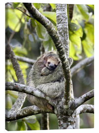 Canvas  Three-toed sloth rests in a tree - Don Grall