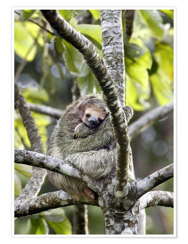 Premium poster Three-finger sloth rests on tree