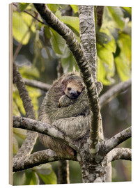 Wood print  Three-finger sloth rests on tree - Don Grall