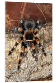 Adam Jones - Mexican Red-Kneed Tarantula on tree bark