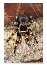 Premium poster  Mexican Red-Kneed Tarantula on tree bark - Adam Jones