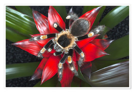Premium poster  Mexican Red-Kneed Tarantula (Brachypelma smithi) - Adam Jones