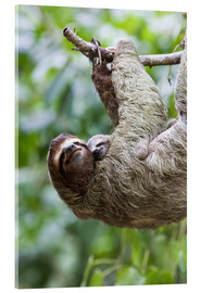 Acrylic print  Sloth with baby on branch - Jim Goldstein