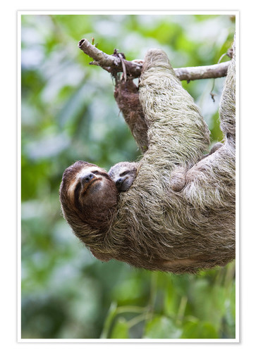 Premium poster Sloth with baby on the branch