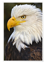 Premium poster  Head of a bald eagle - Adam Jones