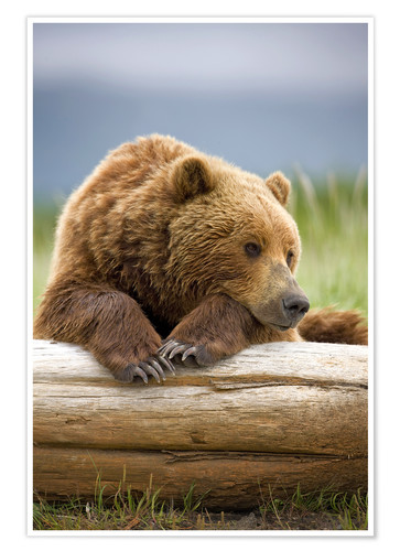 Premium poster Brown bear is relaxing on tree trunk