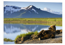 Foam board print  Brown bear relaxes at the lake - Paul Souders