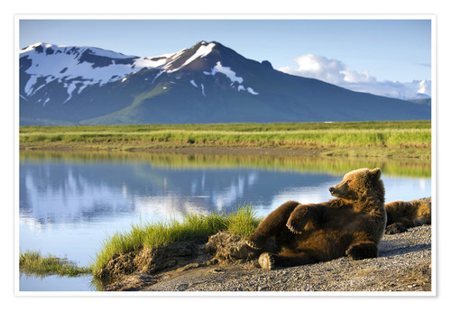 Premium poster Brown bear relaxes at the lake