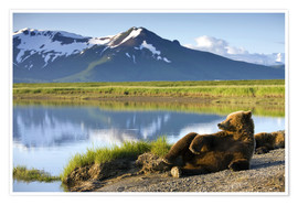 Premium poster  Brown bear relaxes at the lake - Paul Souders