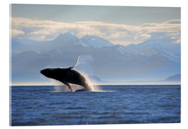Acrylic print  Humpback whale jumps out of water - Paul Souders