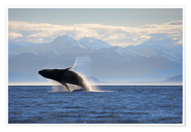 Premium poster Humpback whale jumps out of water