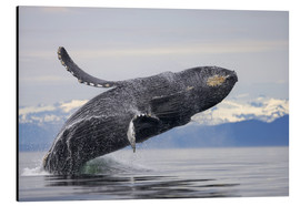Aluminium print  Humpback whale in Frederick Sound - Paul Souders