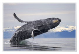 Premium poster  Humpback whale in Frederick Sound - Paul Souders