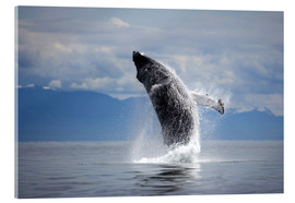 Acrylic print  Humpback whale in the jump - Paul Souders