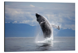 Aluminium print  Humpback whale in the jump - Paul Souders