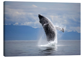 Canvas print  Humpback Whale (Megaptera novaengliae) breaching in Frederick Sound - Paul Souders