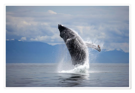 Premium poster Humpback whale in the jump