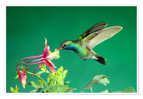 Premium poster Broad-billed hummingbird on columbine
