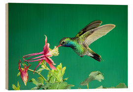 Wood print  Broad-billed hummingbird on columbine - Rolf Nussbaumer