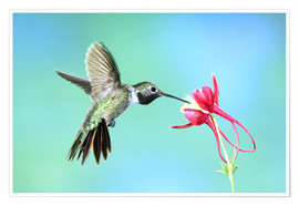 Premium poster Hummingbird on columbine