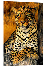 Acrylic print  Enthroned Leopard - Dave Welling