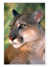 Premium poster Portrait of mountain lion or cougar at Wildlife Waystation rescue facility
