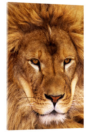 Acrylic print  Portrait of an African lion - Dave Welling