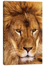 Canvas print  Portrait of an African lion - Dave Welling