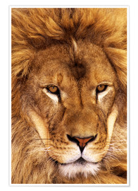 Premium poster Portrait of an African lion