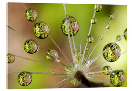Acrylic print  Drops of water on dandelion - Christopher Talbot Frank