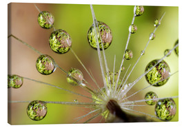 Canvas  Water drops on a dandelion - Christopher Talbot Frank