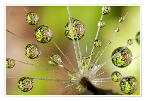 Poster Water drops on a dandelion