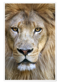 Premium poster  Portrait of a wise lion - Tananarive Aubert