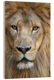Wood print  Portrait of a wise lion - Tananarive Aubert