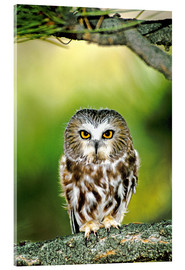 Acrylic print  Northern saw-whet owl - Dave Welling