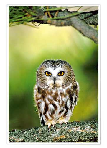 Premium poster Northern saw-whet owl