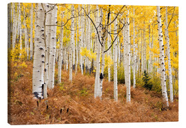 Don Grall - Aspen forest and ferns in autumn