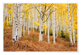 Premium poster Aspen forest and ferns in autumn