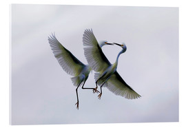 Acrylic print  Two flying herons at the courtship - Ellen Anon