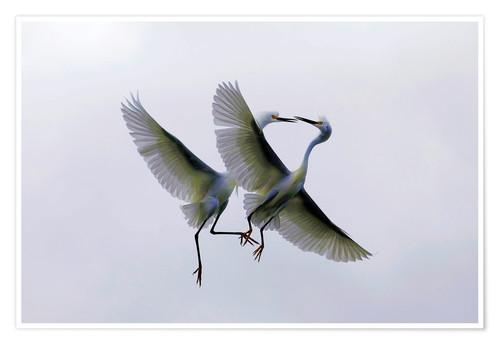 Premium poster Two flying herons at the courtship