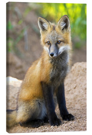 Canvas print  Portrait of a young fox - Don Grall