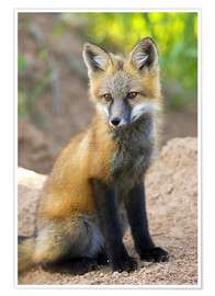 Premium poster  Close-up of red fox kit near den site - Don Grall