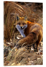 Acrylic glass  Red Fox looks back - Cathy & Gordon Illg