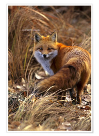 Premium poster Red Fox looks back