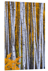 Foam board print  Aspen trees in autumn - David Svilar