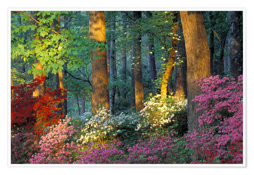 Premium poster Azaleas in the forest