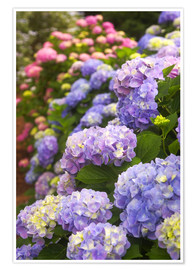 Premium poster Hydrangea flower in the garden